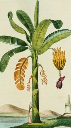 Banana Fruit and Flower Illustration by Descourtilz from Flore pittoresque et medicale des Antilles by M. Illustration Botanique, Illustration Blume, Botanical Drawings, Botanical Prints, Nature Prints, Art Prints, Sibylla Merian, Gravure Illustration, Vegetable Illustration