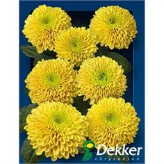 Chrysanthemum Santini Jeanny Orange is an pompom orange variety of miniature santini chrysanthemums. All santini chrysanths are multi-headed, 55cm tall & wholesaled in 25 stem wraps. A superb flower with endless possibilities in floristry.