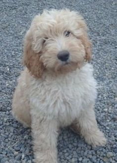 sweet babe. :) love goldendoodles