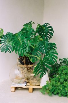 Monstera Deliciosa. Beautiful plants. They can get very large when grown in the tropics or in a green house.