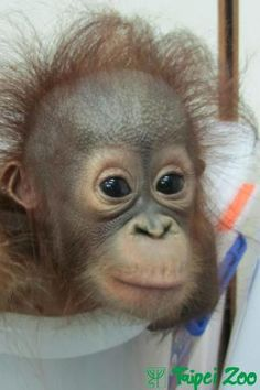 Little Orangutan's One-year-old Birthday Party in Taipei Zoo! ~ How lovely!