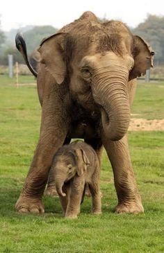Mama Elephant & her baby. : Mama Elephant & her baby. Asian Elephant, Elephant Love, Elephant Art, Mama Elephant, Cute Baby Animals, Animals And Pets, Funny Animals, Elephant Pictures, Cute Animal Pictures