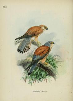 c 1.v.6 - A history of the birds of Europe : - Biodiversity Heritage Library