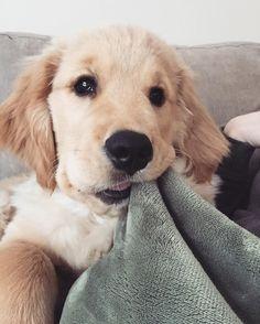 Little Golden Retriever Puppy Animals And Pets, Baby Animals, Funny Animals, Cute Animals, Dog Cushions, Retriever Puppy, Golden Retriever Puppies, Funny Golden Retrievers, Cute Creatures