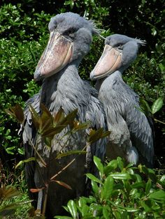 Shoebill - We are two wild and uh CuRAZZZy birds.