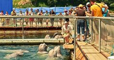 http://www.takepart.com/video/2015/02/27/beluga-white-whale-russia-hunt-gayane-petrosyan-film-cove-blackfish