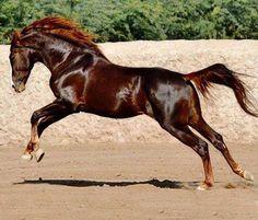 Dark chestnut horse. Beautiful color!