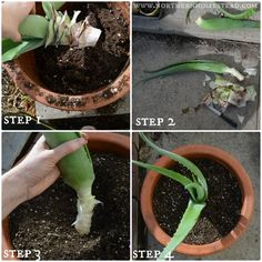 Growing Aloe Vera in Cold Climate The benefits and medicinal uses of Aloe Vera are almost endless, a real must have plant. Here is how to grow, plant, transplant, Aloe Vera in cold climate. Indoor Garden, Garden Plants, Indoor Plants, House Plants, Succulent Gardening, Planting Succulents, Gardening Tips, Propagate Aloe Vera, Backyard Ideas