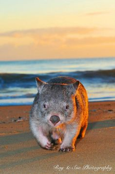 Wombat at the beach... Omg!!! My fave animal and my fave place!! <3 <3