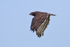 Black-chested Snake Eagle by Kevin B Agar, via Flickr