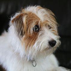 かわいい上目づかい #doghuggy#ドッグハギー