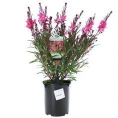 Gaura Belleza Dark Pink 140mm