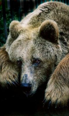 Grizzly Bear thewildanimalstore.com