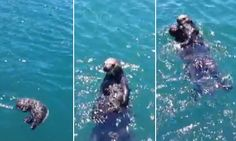 The female pup was lost at sea in San Luis Obispo's Morro Bay when the Marine Mammal Center rescued her and set out to find her mother.