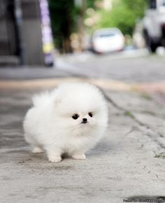 I kinda love puff dogs lately. This tiny teacup pomeranian is adorable
