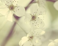 flower photography white blooms nature by TheGinghamOwl on Etsy, $21.00