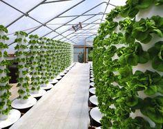 Greenhouse at Sunrise Hydroponics - Aeroponics pylons produce lettuce, zucchinis, strawberries and much more. Hydroponic Farming, Hydroponic Growing, Hydroponics System, Vertical Hydroponics, Diy Hydroponics, Indoor Farming, Aquaponics Garden, Organic Hydroponics, Irrigation Systems