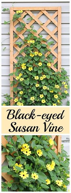 Black-eyed Susan vine - you must plant one of these in your garden this year - its the vine that keeps going strong all summer long - Flower Beds and Gardens Outdoor Plants, Garden Plants, Outdoor Gardens, Garden Trellis, Vine Trellis, Garden Shrubs, Perenial Garden, Easy House Plants, Backyard Plants