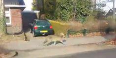 Un loup a été filmé à Kolham, en Belgique, en mars dernier.