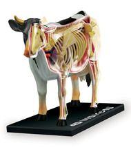 Bovine Anatomical Model