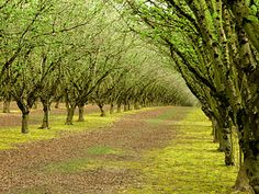Hazelnut orchard at Wooden Shoe tulip fields.  Photo by Alicia Paulson of Posie Gets Cozy.