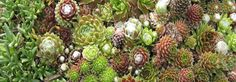 http://www.arrowheadshopping.com/collections-124/sempervivum-collection-130/