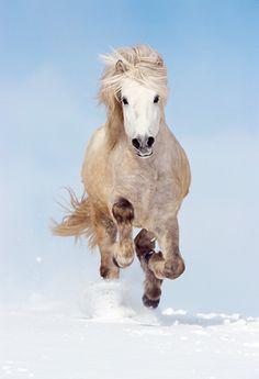 Icelandic grey horse running in the crisp white snow under striking blue sky.
