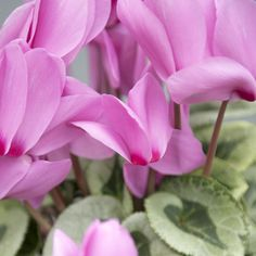 Cyclamen Scholten Pastel (©TheInspirationtable) Pastel, Plants, Cake, Plant, Crayon Art, Planets, Melting Crayons