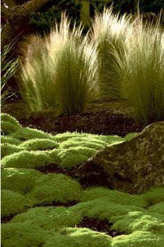 Feenhaft, filigran: Sternmoos (sagina subulata) Mädchenhaargras (stipa tenuissima)