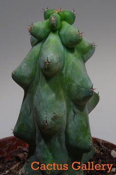 Myrtillocactus geometrizans dukurokuryuzimboku