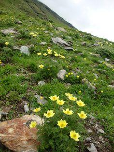 La flora al Passo del Bernina