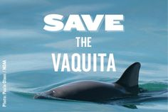 Vaquita porpoises are dying at an alarming rate -- fewer than 30 now remain. Tell Trader Joe's and Northgate Market to stop selling Mexican shrimp from an industry that brought vaquita to the brink, and help save the vaquita.