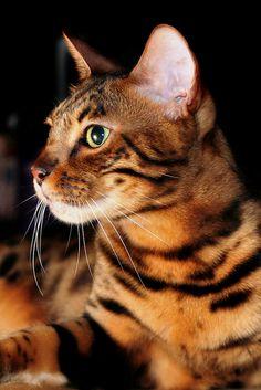 Bengal Kitty. A Beautiful Feline