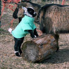 Little Jim needed to wear a goat coat.