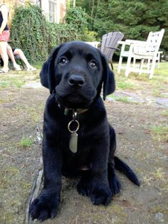 huge paws on black labrador puppy