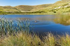 Swimming in Kloof Dam, Clarens, South Africa South Africa, Swimming, Mountains, Nature, Travel, Swim, Naturaleza, Viajes, Destinations