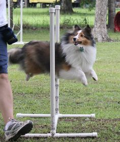 Always watching for direction, even mid-flight.   Love shelties!