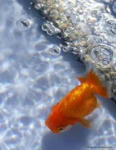 ranchu goldfish swimming in the blue pool with bubble.: