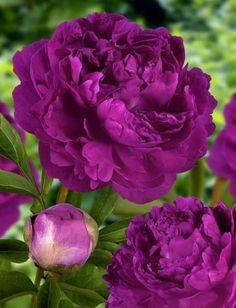 Purple peony