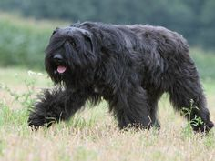 Bouvier des Flandres - beautiful, highly intelligent, excellent family dogs.  This ancient breed is one of the very best guardian dogs.