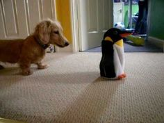 Dachshund puppy trips out over penguin.