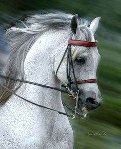 Arabian Horse  Show - Competition Egyptian Stallion Breeding... / When I first seen these horses as a child... I knew that there would be a day I would sit one and call him mine...
