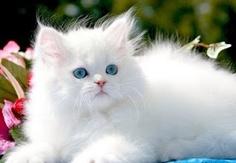 Beautiful Blue Eyed Kitten