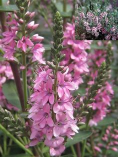 Hebe Pink Pixie. Height 60cm, spread 60cm. Flowers from summer to autumn, pale pink.