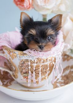 #233 Teacup Yorkie Puppy For Sale