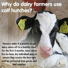 Why do dairy farmers use calf hutches? Farmers make it a top priority to get their animals off to a healthy start. For dairy calves, farmers bottle feed the calves to make sure they receive good nutrition and use clean, dry individual pens to ensure the dairy calves receive the best care and protection germs and bad weather. To read more, visit: http://buzz.mw/b1i8n_n