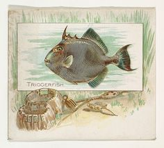 Triggerfish, from Fish from American Waters series (N39) for Allen & Ginter Cigarettes