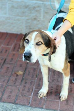 #WVIRGINIA ~ #ADOPTION FEE #SPONSORED!  ID 726S Link is a darling 1yo coonhound who has been in foster care for 6mos & about 60lbs. He's such a sweetheart w/ a WONDERFUL personality & full of love! He is HOUSETRAINED, GREAT w/ dogs & kids! He's in need a loving #adopter / #rescue at the KANAWHA / CHARLESTON HUMANE ASSOC  1248 Greenbriar St   #Charleston WV 25311  wvanimalshelter@suddenlink.net  Ph 304-342-1576