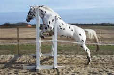 Free Lounging over Jumps....Really nice Leopard Appaloosa