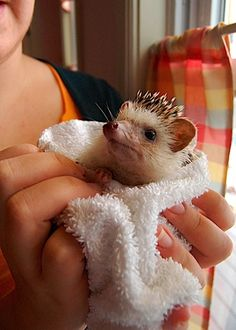 Clean hedgie did not like the bath.